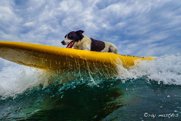 Sevin the water dog photographs – available as Fine art on Canvas, Paper, Metal & More