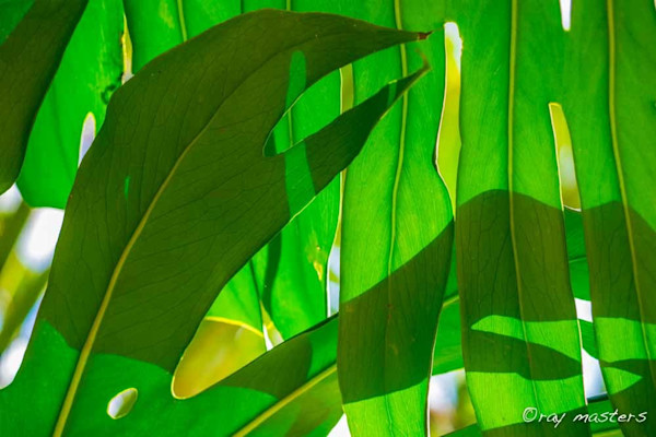 Green leaf photograph as art print