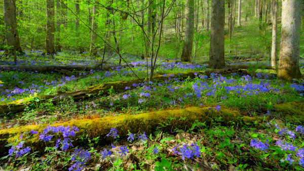 Forest Ephemerals