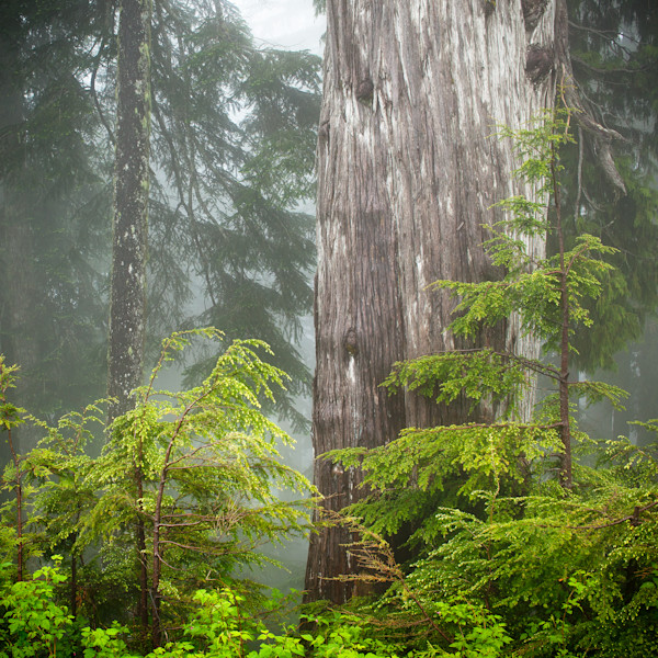 Generations - Yellow Cedar