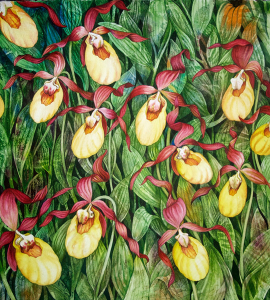 Stunning limited edition giclee print of a watercolor of Lady Slippers in a field by Helen Klebesadel.