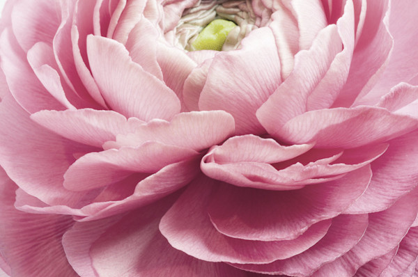 Gorgeous pink ranunculus flower opening is a showstopping photograph for your home.