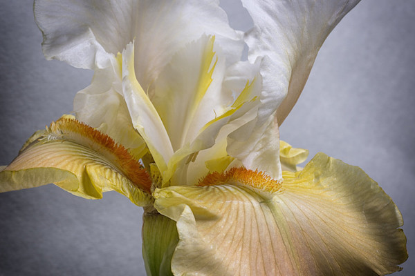 This photograph is pure elegance with a lovely bearded iris close-up