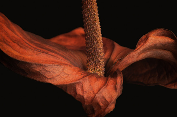 Moody and striking photo of a dried Calla Lily becomes a botanical study.
