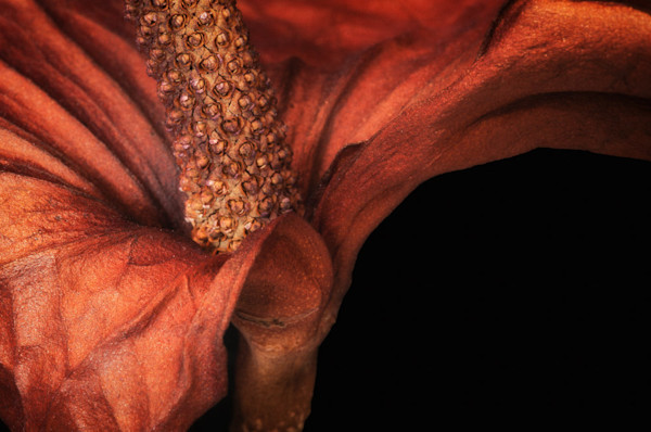 Love Found is Jennifer S. Beaver's striking photograph close-up of a dried Calla Lily flower.