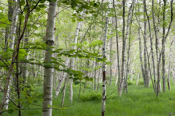 Tree Wall Art: White Birch Forest