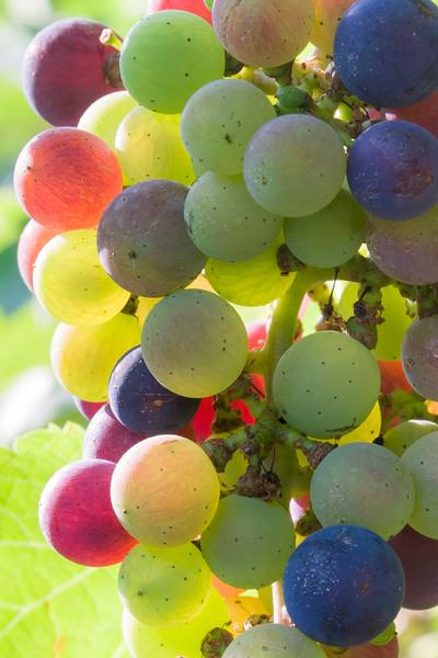 Vineyard Wall Art: Rainbow Grapes
