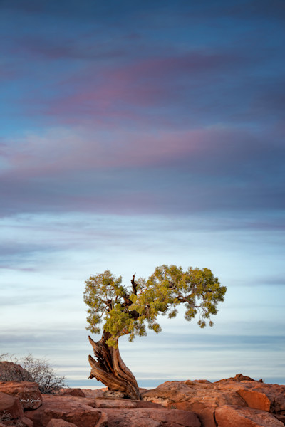 Dead Horse Juniper (161392LNND8) Photograph for Sale as Fine Art Print