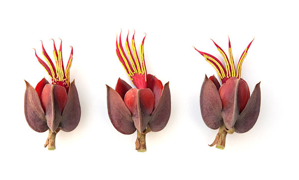 Stunning exotic Monkey Hand Tree Flowers are the subject of this botanical photo by Tara Gill.