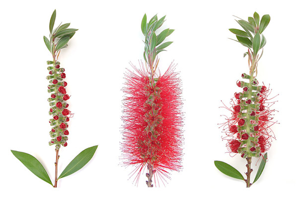 Three bottle brush flowers star in this brightly colorful nature print.
