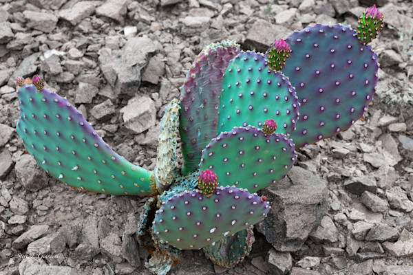 Purple Prickly Pear Cactus (161438NWND8-S) Photograph for Sale as Fine Art