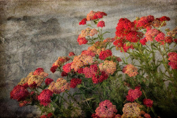 Gorgeous colorful photograph of the healing plant yarrow, with an antiqued, textural effect.
