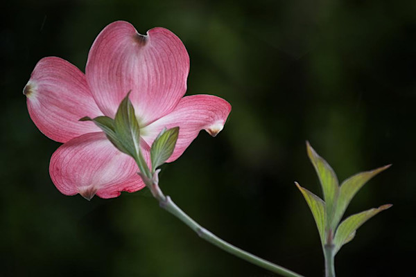 Photographer David Lorenz Winston's single dogwood blossom makes a striking statement.