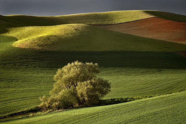 A solitary tree grows in the midst of green rolling hills in this stunning landscape photo by David Lorenz Winston