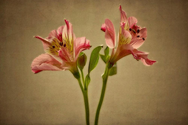 Beautiful, simple and natural, this stunning photo of two lilies has a serene quality to it.