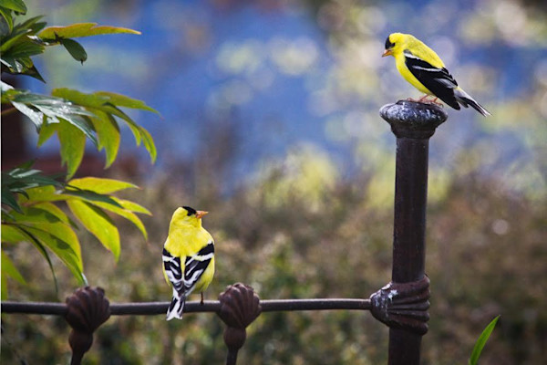 Charming photo of two yellow finches having a conversation.