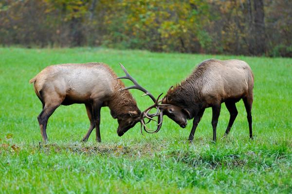 Elk Bulls (Cervus elaphus)