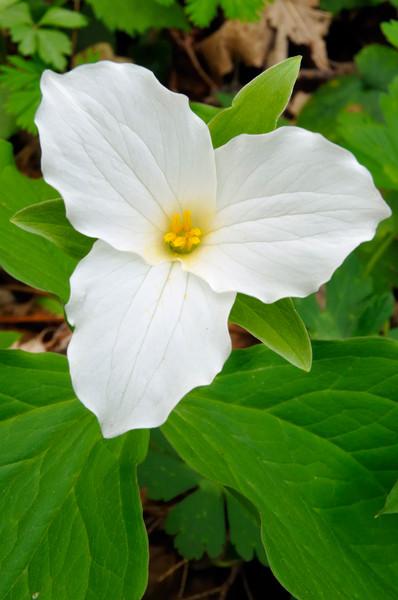 White Trillium (Geranium maculatum)