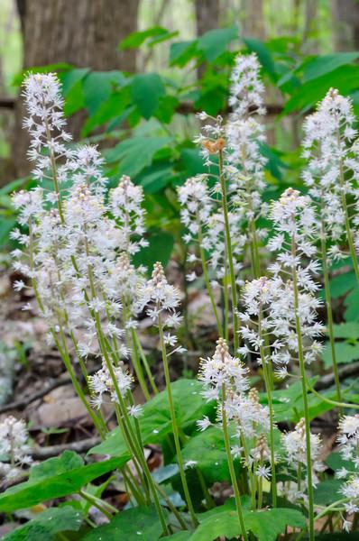 Heartlieaf Foamflower (Tiarella cordifolia)