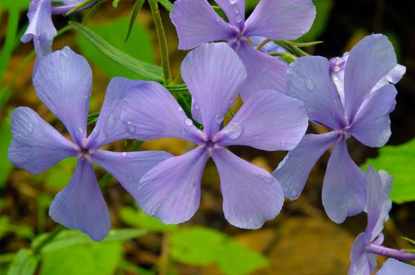 Blue Phlox (Phlox divaricate)