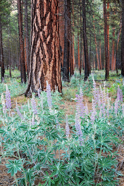 Metolius Lupine II (161483LNND8) Photograph for Sale as Fine Art Print