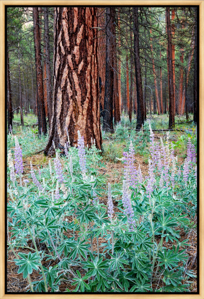 Metolius Lupine II (161483NWND8) Photograph for Sale as Framed Metal Print