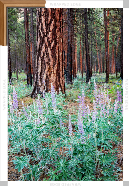 Metolius Lupine II (161483NWND8-P) Photograph for Sale as Framed Canvas Fine Art Print