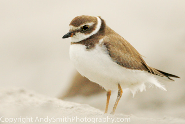 Semipalmated plover  Portrait fine art photograph