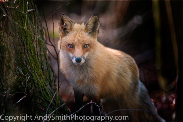 Red Fox at Forsythe fine art photograph