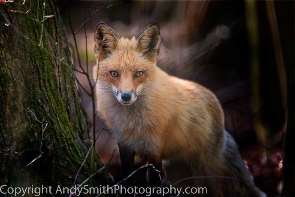 Red Fox at Forsythe fine art photograph