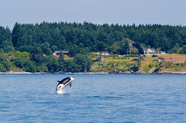 Breaching Orca Photograph for Sale as Fine Art.