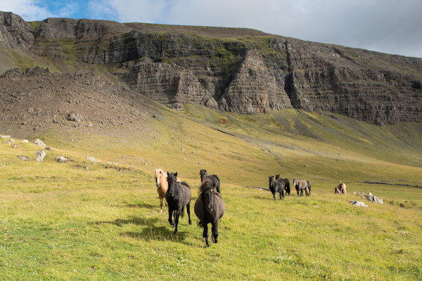 Icelandic Horses Photograph for Sale as Fine Art.