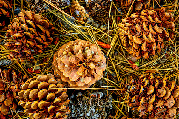 Pine Cones (10488LNND8) Photograph for Sale as Fine Art Print