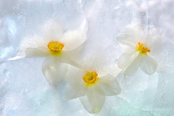Daffodil Trio in the Clouds
