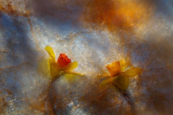 Daffodil Shadows
