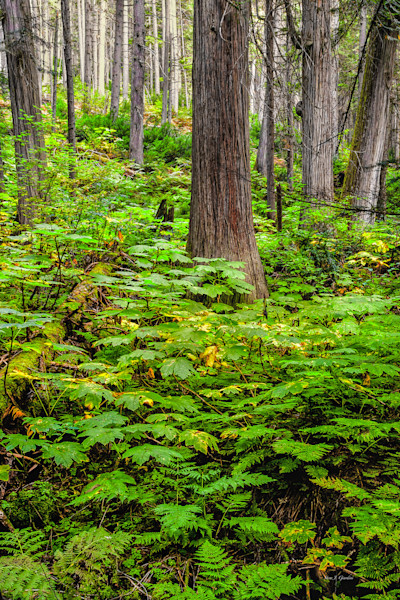 Giant Cedars Boardwalk Trail I (131060NWND8-S) Photograph for Sale as Fine Art Print