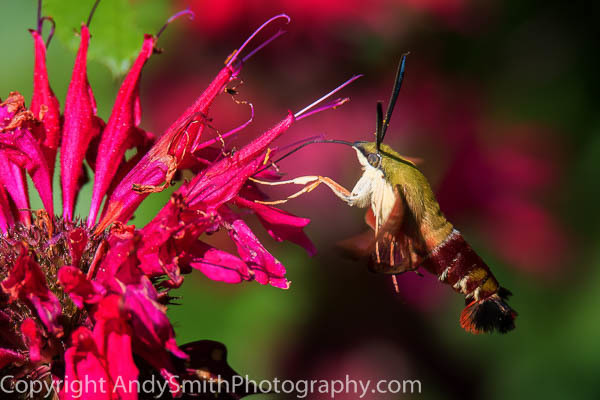 Hummingbird Moth Feeding Eastern  fine art photograph