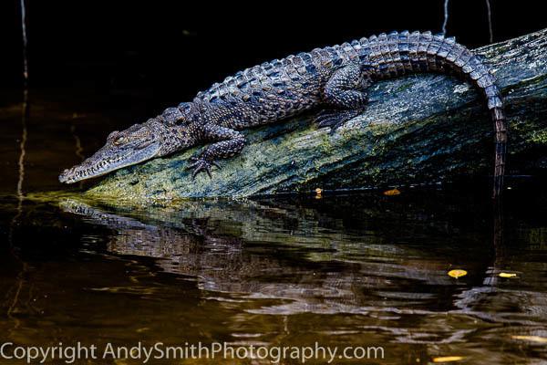 American Crocodile Juvenile fine art photograph