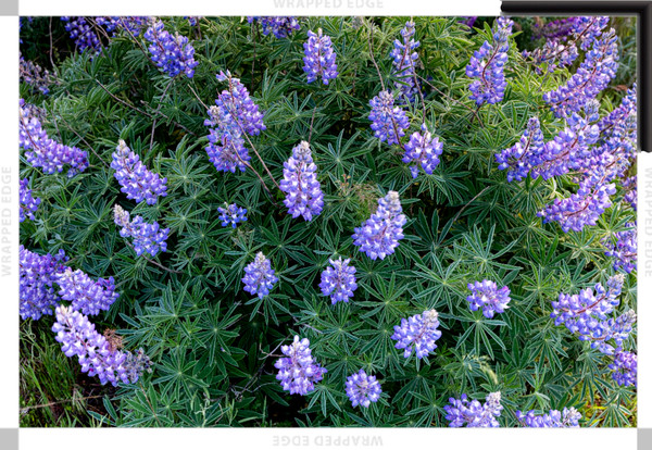 Lupine Shine (161452NWND8-S) Photograph for Sale as Framed Canvas Fine Art Print