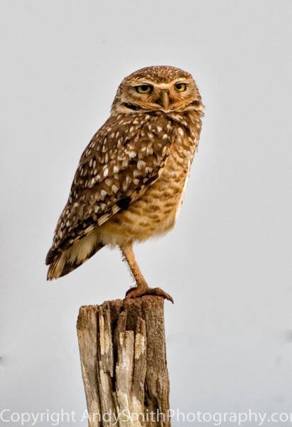 Burrowing Owl fine art photograph