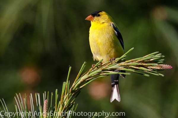 american goldfinch fine art photograph
