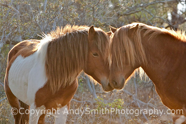 Affection, wild ponies at Assateague fine art photograph