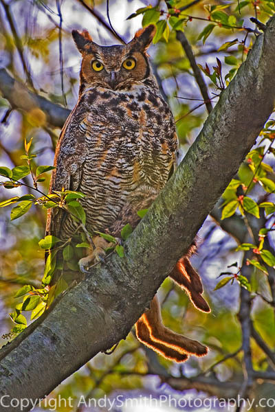 Great Horned Owl with Rabbit fine art photograph