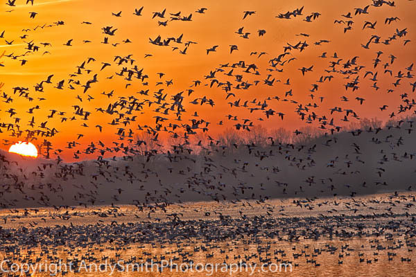 fine art photograph of Cloud of Snow Geese at Sunrise