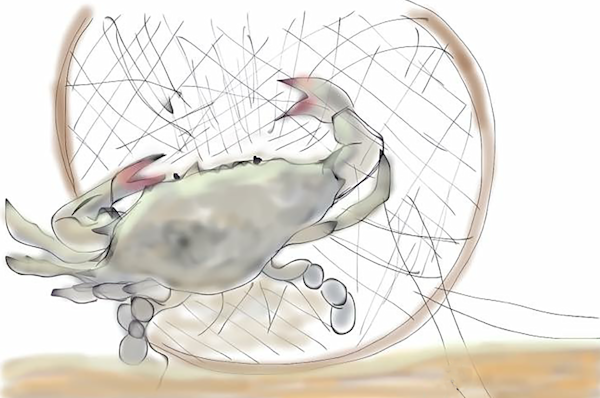 Atlantic Blue Crab In A Net Fine Art Print