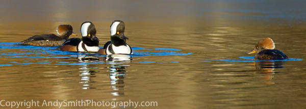 Two Hooded Merganser Pairs fine art photograph