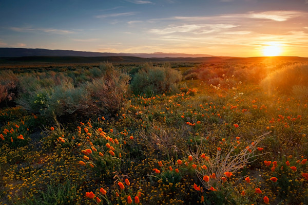 California Sunset Poppies Photographs Wall Art.