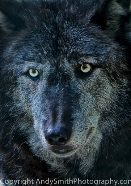 Alpha Male Timber Wolf fine art photograph