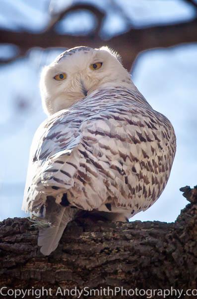 Snowy Owl at Merrill Creek fine art photograph