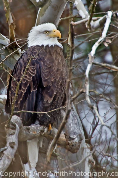 Bald Eagle on the Lackawaxen